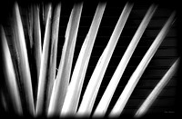 Infrared Fan Palm against wall.  St. Barts