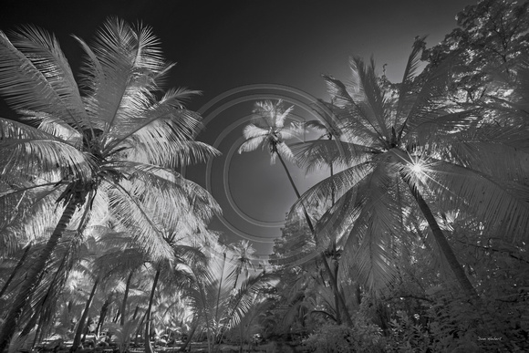 Morning Palms at Magens Bay, STT  Infrared